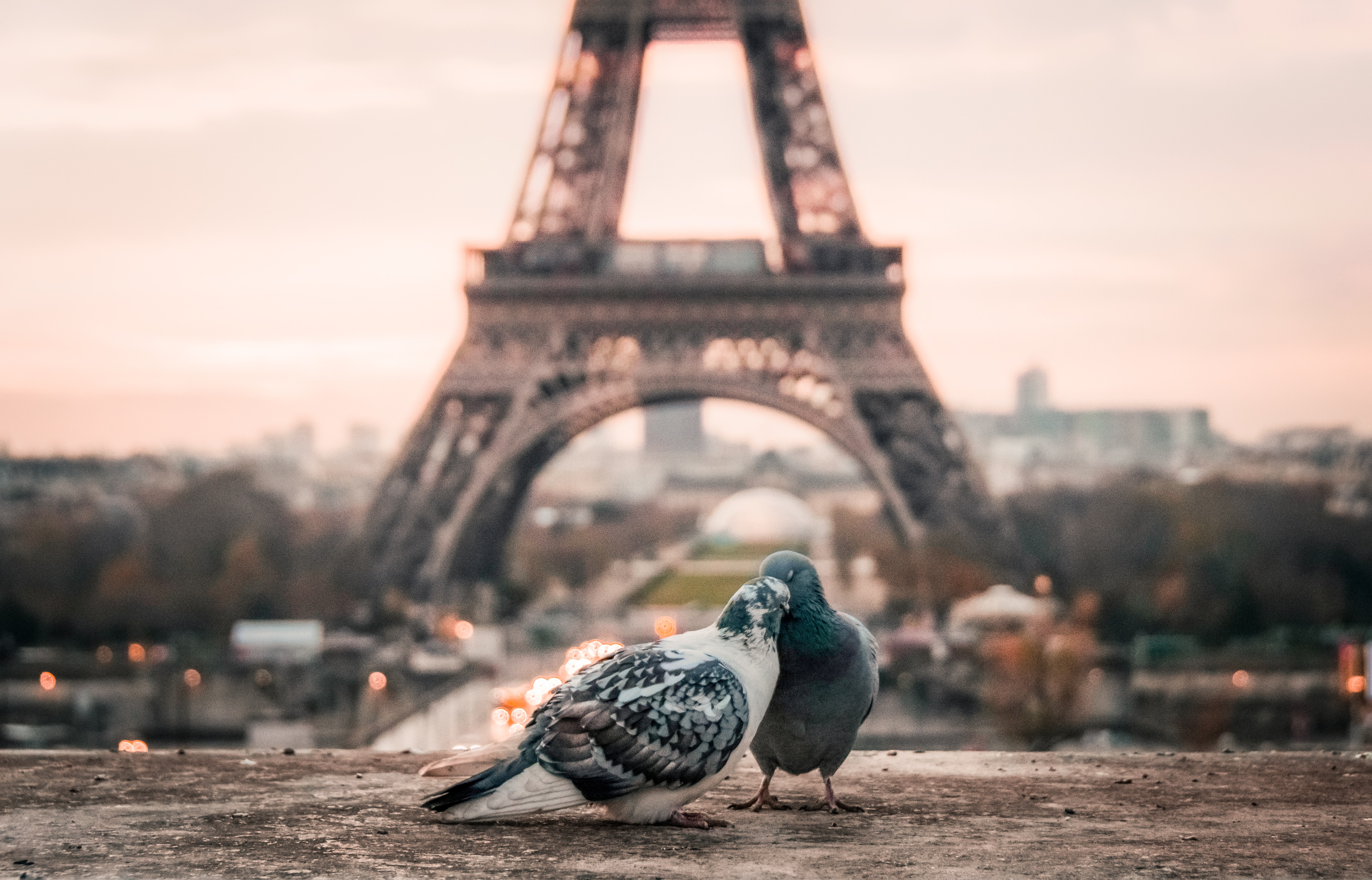 focus photography of gray and black pigeons behind Eiffel Tower